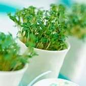 Cress growing in egg cups (close-up)