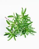 Savory (satureja hortensis)