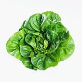 Cos lettuce (lactuca sativa var. longifolia)