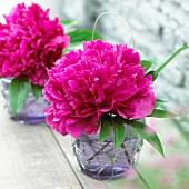 Pinkfarbene Pfingstrosenblüten in Glasvase