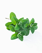 Apple mint (mentha rotundifolia)