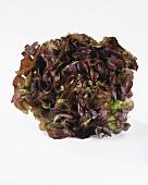 Lettuce (lactuca sativa var. foliosa)