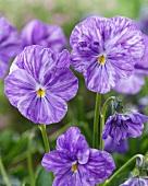 Lilafarbene Violablüten (Viola Columbine)
