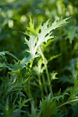 Mizuna lettuce (Japan)