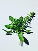 Fresh Herbs; Lemon Basil