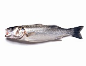 A fish against a white background