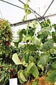 Gurkenpflanze im Gewächshaus