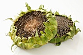 Two dried sunflowers