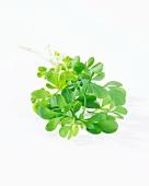 Fresh herb-of-grace