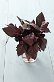 Purple basil in a glass of water
