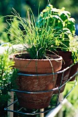 Chives in a flower pot