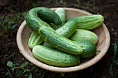 Fresh Picked Cucumbers in a Bowl in the Garden