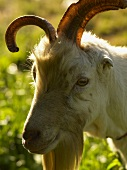 Goat with Horns; Outdoors
