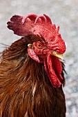 A live cockerel
