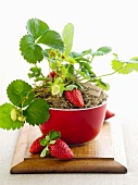 A strawberry plant in a red bowl