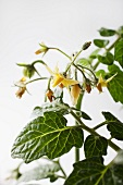 Flowering tomato plants (close-up)
