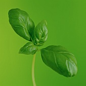 Basil in front of a green background