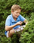 A little boy picking and eating blueberries