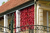 Red pepperonis drying in the sun (Hungary)