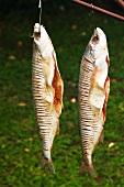 Zum Räuchern aufgehängte Fische