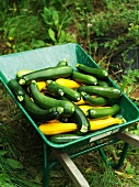 Freshly harvested green and yellow courgettes in a wheelbarrow