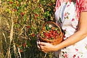 Rosehips being harvested