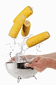 Washing corn on the cob in a colander