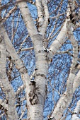 A view up into leaf-less silver birch trees