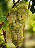 Macabeo grapes