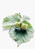 Unripe hazelnuts with leaves