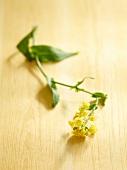 Mustard Blossom