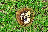 Three quail's eggs in a nest in a field (seen from above)
