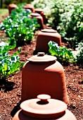 Terracotta rhubarb forcing pots