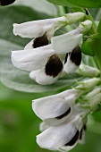 Broad bean flowers (close-up)