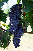 Cabernet sauvignon grapes (Linden Vineyards, Linden, Virginia, USA)