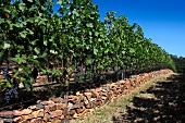 Rebstöcke mit Cabernet Sauvignon Trauben (RdV Vineyards, Delaplane, Virginia, USA)