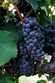 Red wine grapes (White Hall Vineyards, Crozet, Virginia, USA)