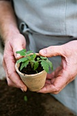 Hands holding a seedling in a clay pot