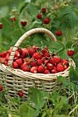 Fresh wild strawberries in a basket