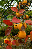 Japanese Persimmons hanging on a tree