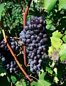 Nebbiolo grapes (Breaux Vineyards, Purcellville, Virginia, USA)