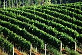 Kluge Estate vineyard (Charlottesville, Virginia, USA)