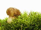 A porcini mushroom in moss