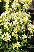 Primulas in a garden