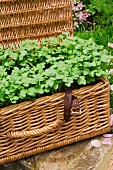 Paksoi seedling in a picnic basket in the garden
