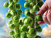 Hand checking brussels sprouts on the stalk