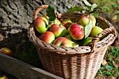 Basket freshly picked organic apples