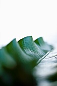 Bird's-nest fern leaf