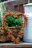 Heart-shaped wreath of rosehips, wicker basket and milk can