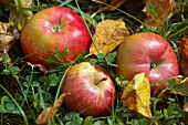 Three apples lying in the grass